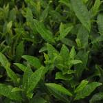 Green Boar Organic Tea019