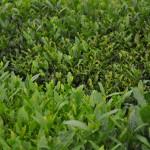 Green Boar Organic Tea020