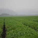 Green Boar Organic Tea028
