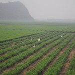 Green Boar Organic Tea041